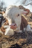 说谎在地面上的小牛 免版税库存图片