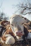 说谎在地面上的小牛 库存照片