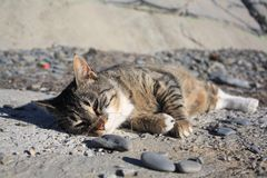 说谎在地面上的懒惰猫在sunlights下 在它的鼻子上的蜘蛛网 灰色海滩石头 免版税库存照片