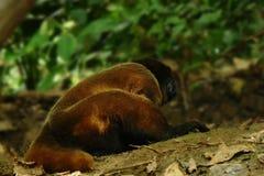 说谎在森林地板上的长毛猴或chorongo在南美洲,厄瓜多尔 免版税库存照片