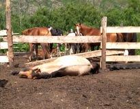 说谎在牧群中的地面上的马在阿尔泰山的小牧场在夏天 库存照片