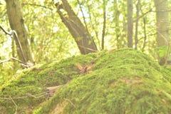 象草的小山在森林里 库存图片