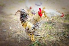 走在草的明亮的美丽的公鸡在村庄或农场 免版税图库摄影
