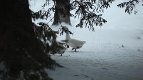 走户外在雪的家养的鹅群寻找草和食物 记录片的美好的关闭 股票录像