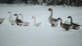 走户外在雪的家养的鹅群寻找草和食物 记录片的美好的关闭 股票视频