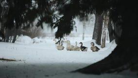 走户外在雪的家养的鹅群寻找草和食物 记录片的美好的关闭 影视素材