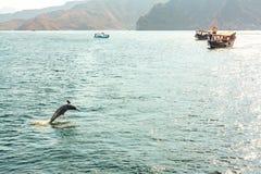 跳出水海豚和游船在阿曼海湾 免版税库存图片