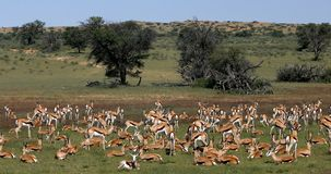 跳羚在卡拉哈里,南非野生生物 影视素材