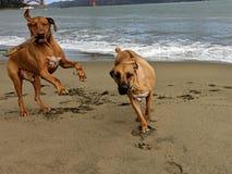 跳跃,跑和演奏取指令用棍子的两条大愉快的狗在与金门大桥的海滩在背景中 免版税库存照片