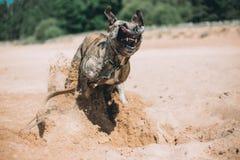 跑在海滩的狗 美国斯塔福郡狗 免版税库存照片