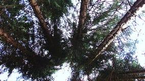 转动在他们自己在一个云杉的森林慢动作 股票录像