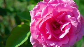迅速移动在一朵桃红色花