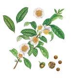 茶厂、花、叶子和种子的植物的例证 库存例证