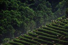 茶采摘在清莱泰国 免版税库存照片