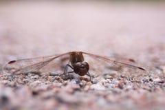 蜻蜓的特写镜头 免版税图库摄影