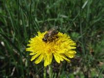 蜂从蒲公英收集花蜜在一个温暖的春日在一个绿色草甸 免版税库存图片