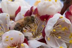 蜂在春天授粉杏子开花 免版税库存图片