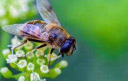 蜂蜜蜂和绿色和白花 库存照片