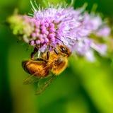 蜂蜜蜂和紫色花 免版税图库摄影