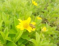 蜂蜜蜂和黄色花 库存图片