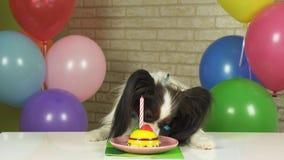 花梢狗吃与蜡烛的Papillon生日蛋糕 免版税库存图片