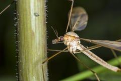 蚊子的宏观图象在植物的 库存图片
