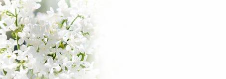 背景本质空间您春天的文本 开花的共同的紫丁香属植物寻常的淡紫色灌木白色培育品种 与束的春天风景 免版税图库摄影