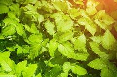 背景蓝色云彩调遣草绿色本质天空空白小束 主教的杂草叶子,在软的阳光下的拉丁Aegopodium podagraria 库存图片