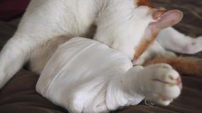 舔在受伤的关心选矿的猫受伤的腿 影视素材