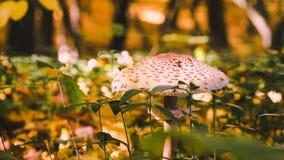 蘑菇在秋天森林里  免版税库存图片