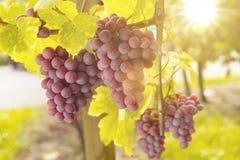 葡萄在阳光下 库存照片