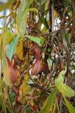 肉食垂悬的捕虫草-猪笼草-昆虫陷井 库存照片