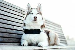 蓝眼睛的美丽的西伯利亚爱斯基摩人狗画象在步行的 免版税库存照片