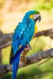 蓝色黄色金刚鹦鹉鹦鹉 免版税库存照片