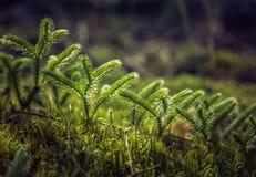 蕨在森林里 库存照片