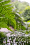 蕨特写镜头,绿色叶子,美丽在森林中在期间在雨以后自然本底的 库存照片