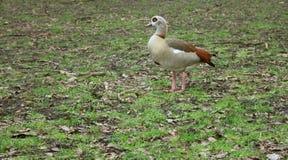 色的鸭子在一个冷的阿姆斯特丹公园吃草 库存照片