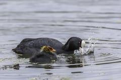 老傻瓜与母亲的小鸡游泳在湖 库存图片