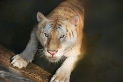 老虎准备吸引受害者 免版税库存图片