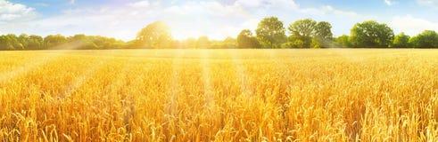 耳朵强调域一夏令时麦子 免版税库存图片