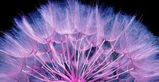 蒲公英播种纹理背景 桃红色和蓝色自然本底 免版税图库摄影