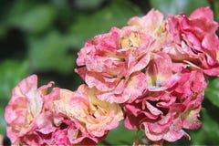 è aumentato romantico della natura del fiore di scintillio bello fotografia stock libera da diritti