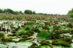 È bello rosa Lotus del fiore a Lotus Floating Maket Ba rossa fotografie stock