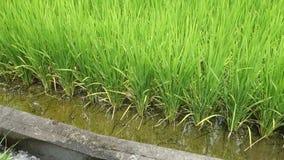 È giacimento del riso dell'estate nel Giappone video d archivio