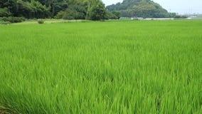 È giacimento del riso dell'estate nel Giappone stock footage
