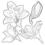 È l'illustrazione di vettore del fiore dell'amarillide di hippeastrum Immagine Stock