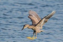 È la nicticora per pescare il pesce Fotografie Stock Libere da Diritti
