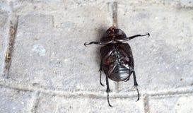 È morto lo scarabeo sulla via bianca Fotografia Stock Libera da Diritti