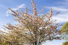 È Sakura in fiore Immagine Stock