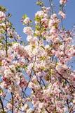 È Sakura in fiore Fotografia Stock